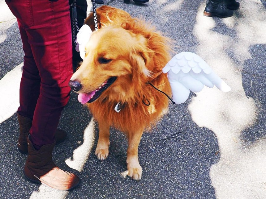 Dog dressed as an angel for Halloween in New York